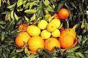 Arance e Limoni di Ribera
