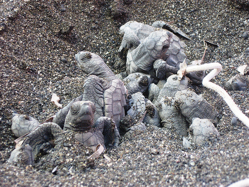 Pozzolana di ponente i love agrigento for Incubazione uova tartaruga
